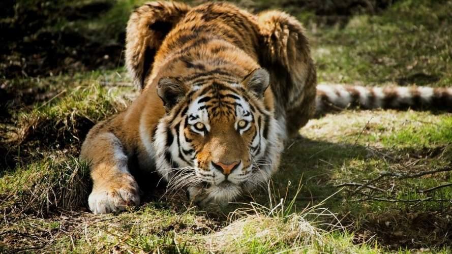 Koji izlaze iz tigrove šume
